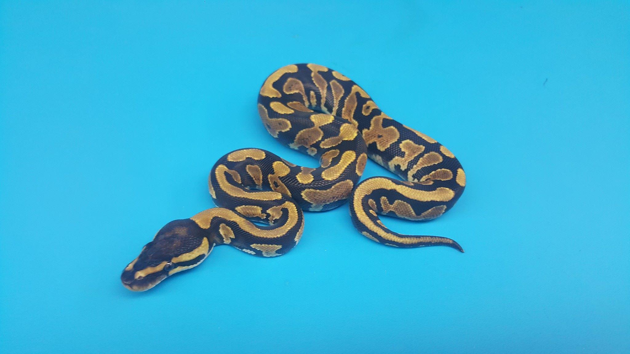 Pied clown ball python - photo#14