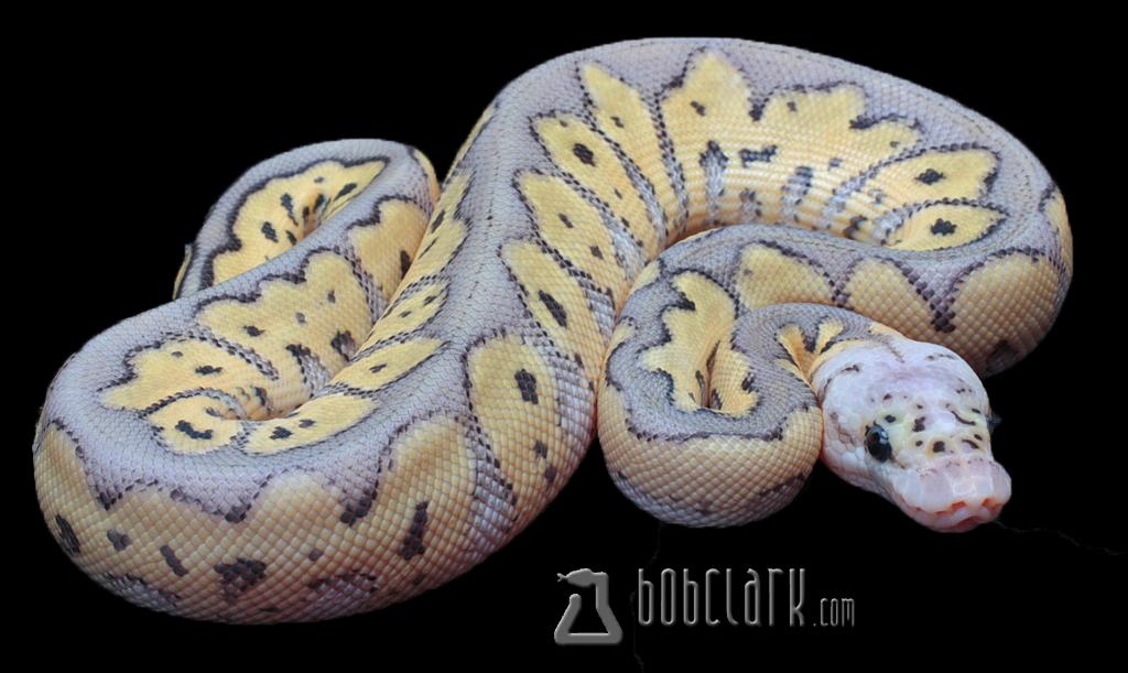Image Gallery killer clown ball python