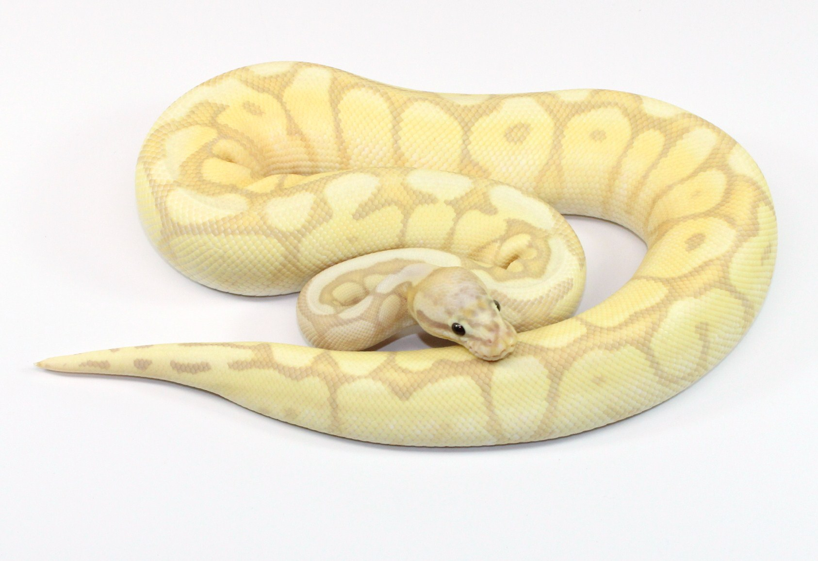 Banana spider ball python - photo#5