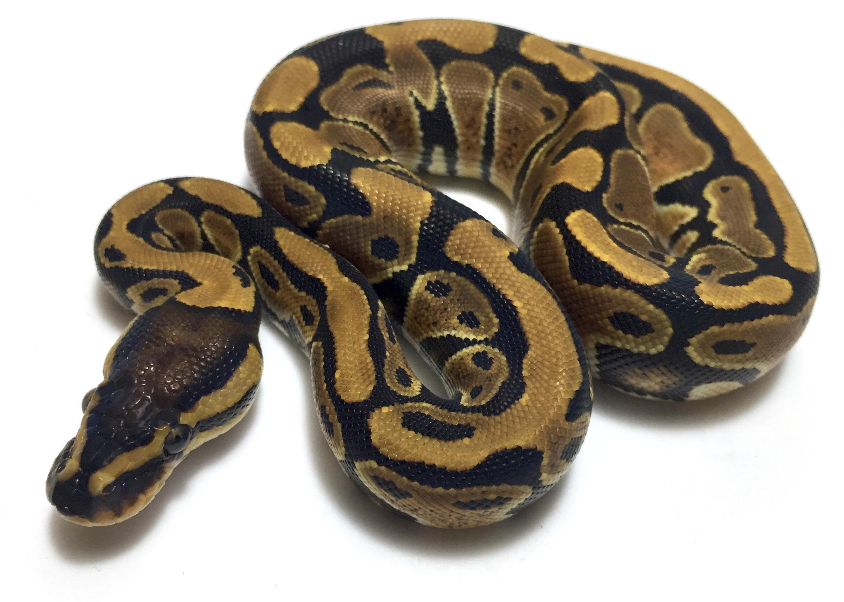 ball python logo by - photo #30