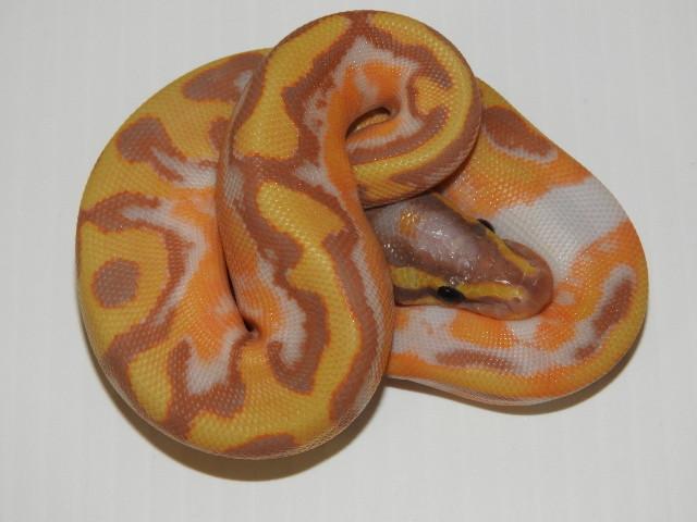 Orange Dream Enchi Banana Pied Het Ghost Ball Python