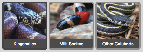 Kingsnakes, Milk Snakes and Other Colubrids