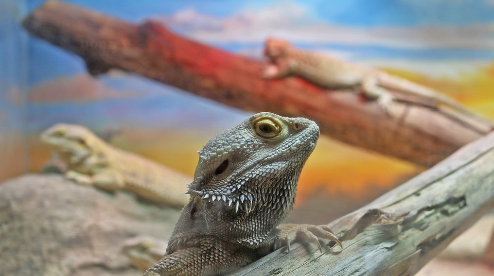 Bearded Dragons for Sale - MorphMarket USA