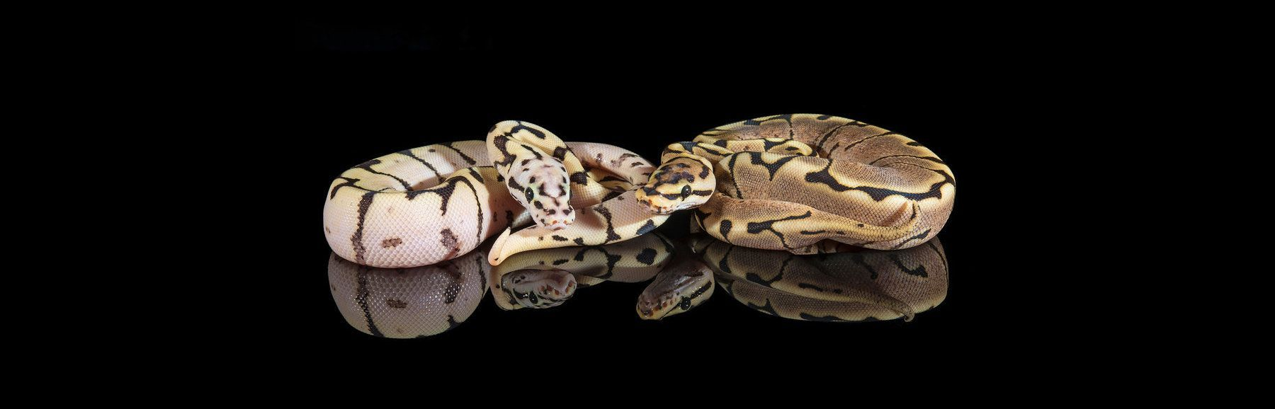 Ball Pythons For Sale Largest Selection In The World
