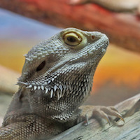 Reptiles for Sale - 10,000+ Snakes & Geckos - MorphMarket USA