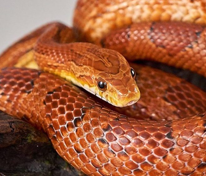 Reptiles For Sale 10 000 Snakes Amp Geckos Morphmarket Usa