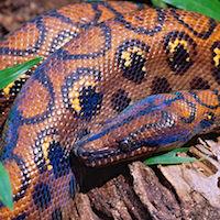 Reptiles for Sale - 10,000+ Snakes & Geckos - MorphMarket USA