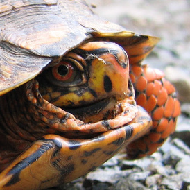 Ball Pythons for Sale - 10,000+ Reptiles - MorphMarket Europe